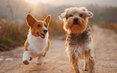 Vše o povinném čipování psů